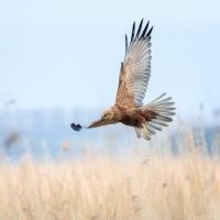 bruine kiekendief op jacht