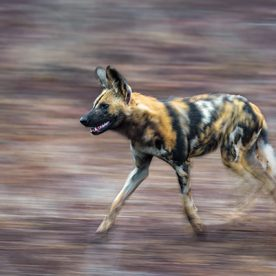 mammal, wild dog, zoogdier, wilde hond, zuid afrika, south africa, africa, afrika, wildlife, nature reserve, endangered species, bedreigde diersoort, hunting, running, panning