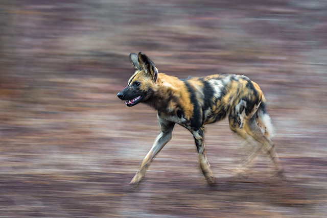 mammal, wild dog, zoogdier, wilde hond, zuid afrika, south africa, africa, afrika, wildlife, nature reserve, endangered species, bedreigde diersoort, hunting, running, panning