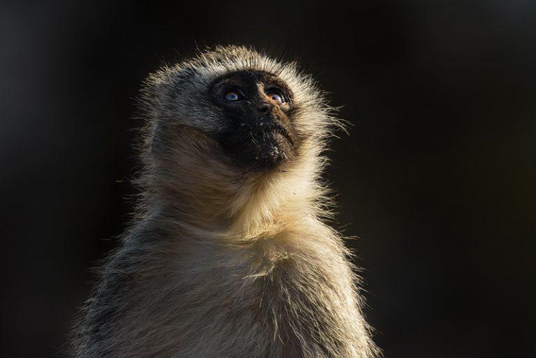 vervet monkey, africa, wildlife, safari, nikon, mammal, aap, afrika, omhoog kijken, look up, what's up,